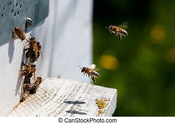 miel, abejas, Antes, colmena, entrada