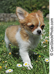 puppy chihuahua - portrait of a cute purebred puppy...