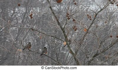 Robin birds in snow storm, hd - A flock of robin birds in...
