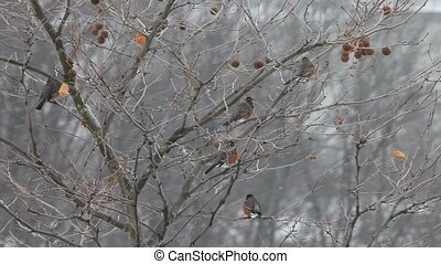 Robin birds in snow storm, hd
