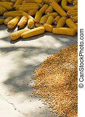 maíz, Mazorcas, maíz, Secado, sol