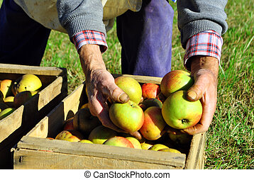 apples - apple on tree and hand showing healthy food concept...