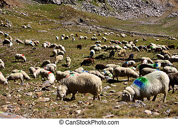sheep with red and blue in the mountains