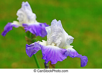 Two Purple bearded Iriss using a shallow depth of field and...