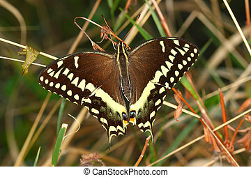 Palamedes Swallowtail Papilio palamedes found in a central...