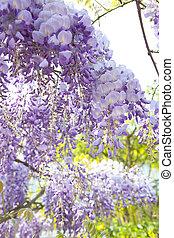 Wistaria - Beautiful blue wistaria in garden