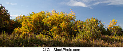 Willow leaves in autumn - Bright autumn foliage of willow...