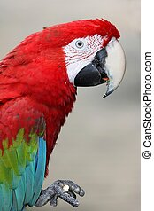 Green-Winged Macaw Parrot eating a nut or seed
