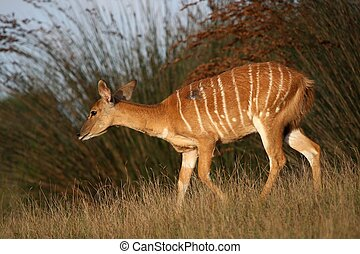 Nyala Antelope Female - Female Nyala antelope with stripes...