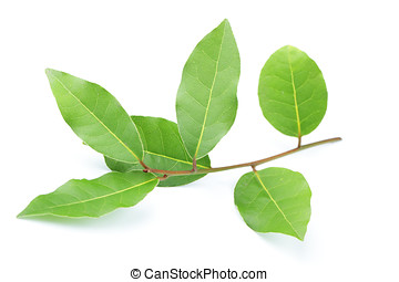 Bay leaf - Branch of bay leaf isolated on white