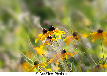 Black eyed Susans - Close up shot of black eyed Susans in...