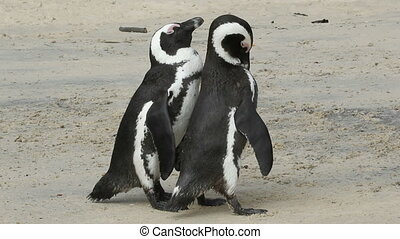 African penguins - A pair of African penguins Spheniscus...