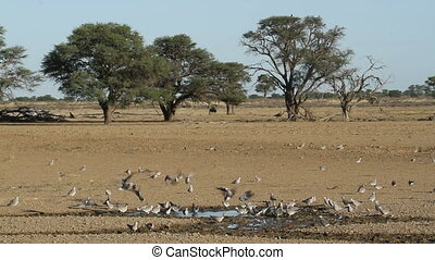 Cape turtle doves Streptopelia capicola at a waterhole,...