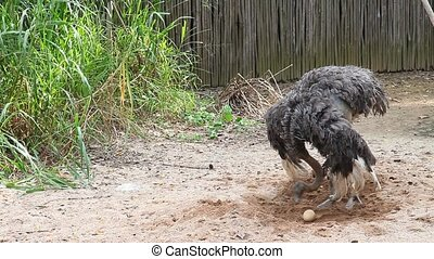 Osctrich protecting their egg, hd - Australian ostrich in...
