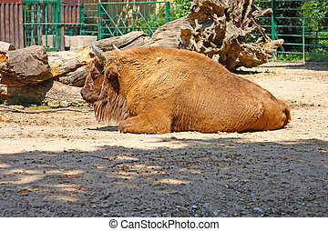 European bison photo taken in ZOO