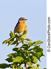 Portrait of an european stonechat saxicola rubicola