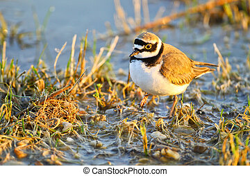 Portrait of a little ringed plover charadrius dubius