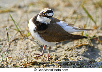 Portrait of a little ringed plover (charadrius dubius).