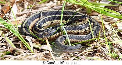 Garter Snake (Thamnophis sirtalis) basking in Illinois.