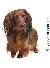standard long haired Dachshund in front of a white...
