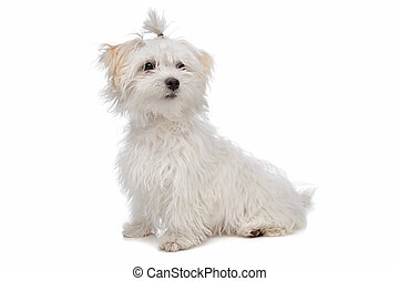 white maltese dog - Maltese dog in front of a white...