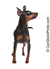 Miniature Pinscher in front of a white background