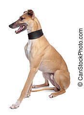 Greyhound, Whippet, Galgo dog in front of a white background
