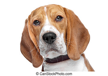 Beagle dog in front of a white background
