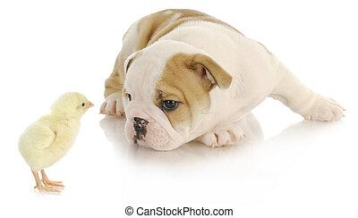baby animals - newborn chick and bulldog puppy on white...