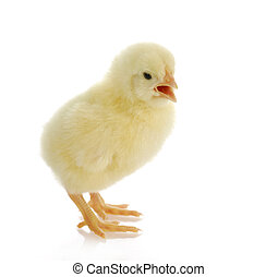 baby chick chirping with reflection on white background