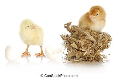 dos, bebé, polluelos