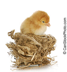 chick in a nest isolated on white background