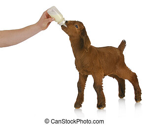 bottle feeding baby goat on white background