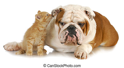 dog and cat - cat and dog - cute kitten whispering into...