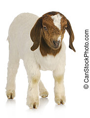baby goat standing - baby goat - purebred south african boer...