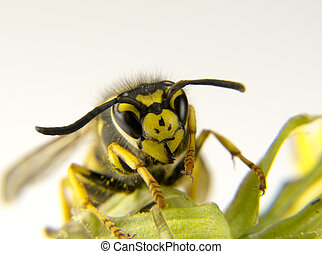 Macro of a European wasp yellow and black markings - a Macro...
