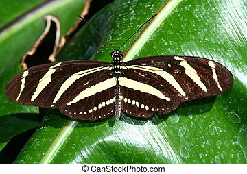 zebra longwing butterfly,heliconius charitonius