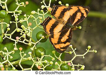Orange butterfly on berry plant 2 - Orange butterfly sitting...