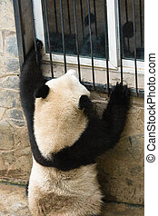 black-and-white burglar - panda bear apparently trying to...