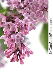 Pink lilac - Beautiful fragrant pink lilac on white...
