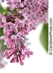 Cor-de-rosa, lilás