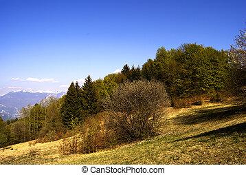 Birch in the field