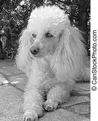 Poodle - detail of young poodle in summer time
