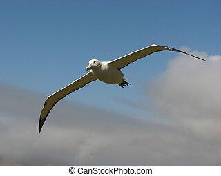 Albatroz, voando, real