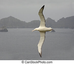Royal albatross Flying Underwing with Campbell Island in the...