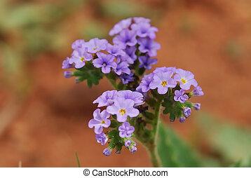 Purple flowers - Little purple flowers
