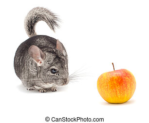 Chinchilla isolated on white background