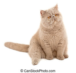 Exotic short-haired cat Color violet