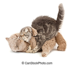 Cats kissing each others arms on a white background