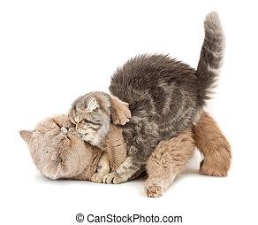 katter, kyssande